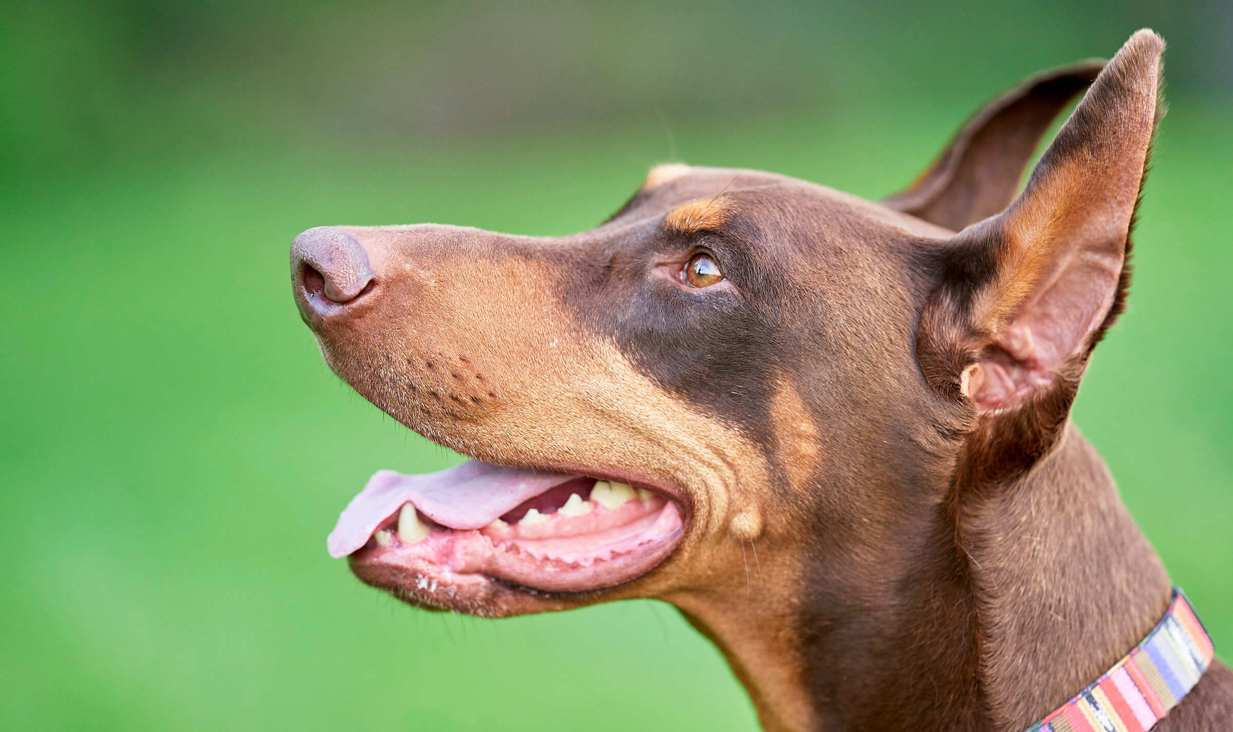 Doberman pet portrait in Spokane Washington
