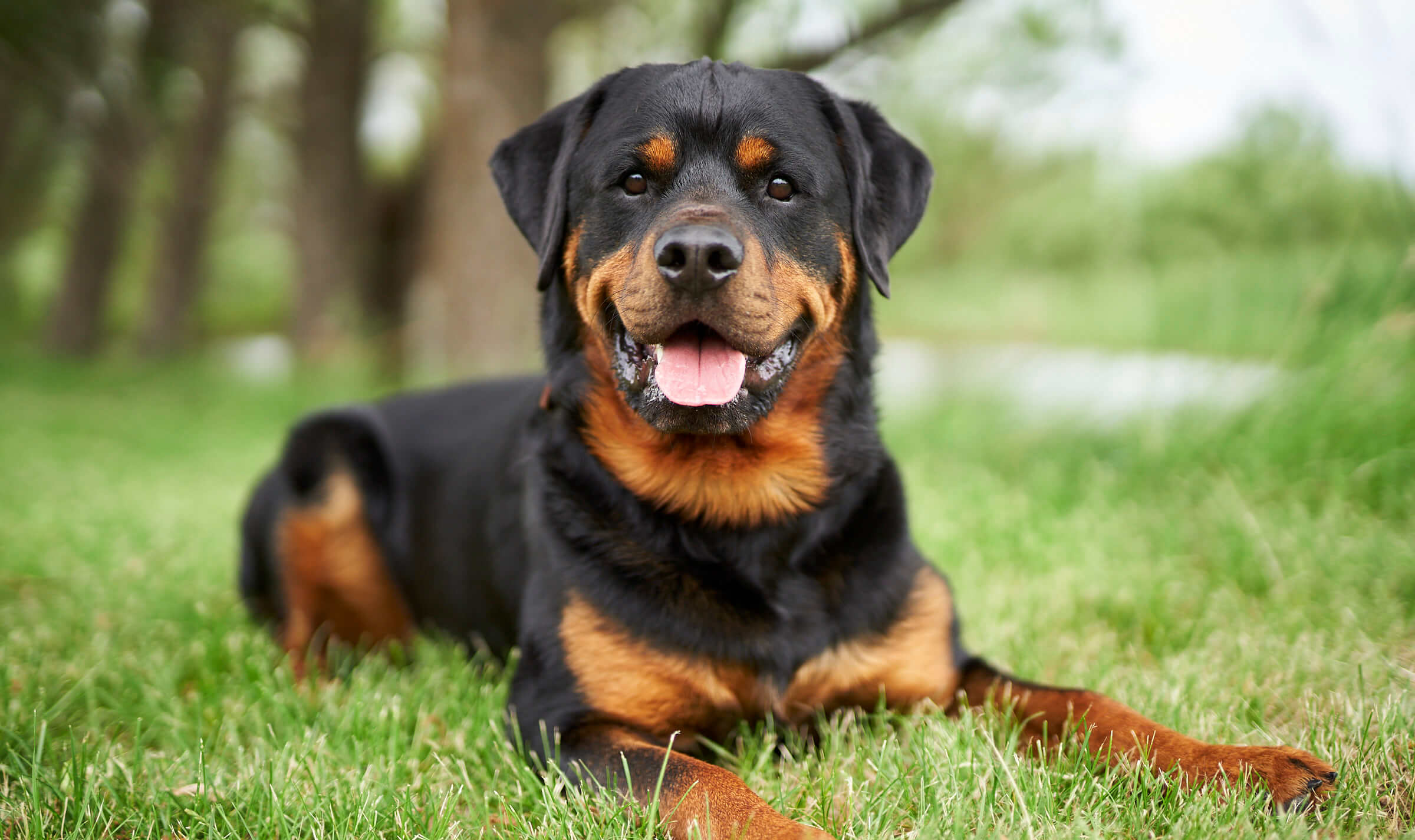 Basco the Rottweiler dog, pet portrait in Spokane Washington