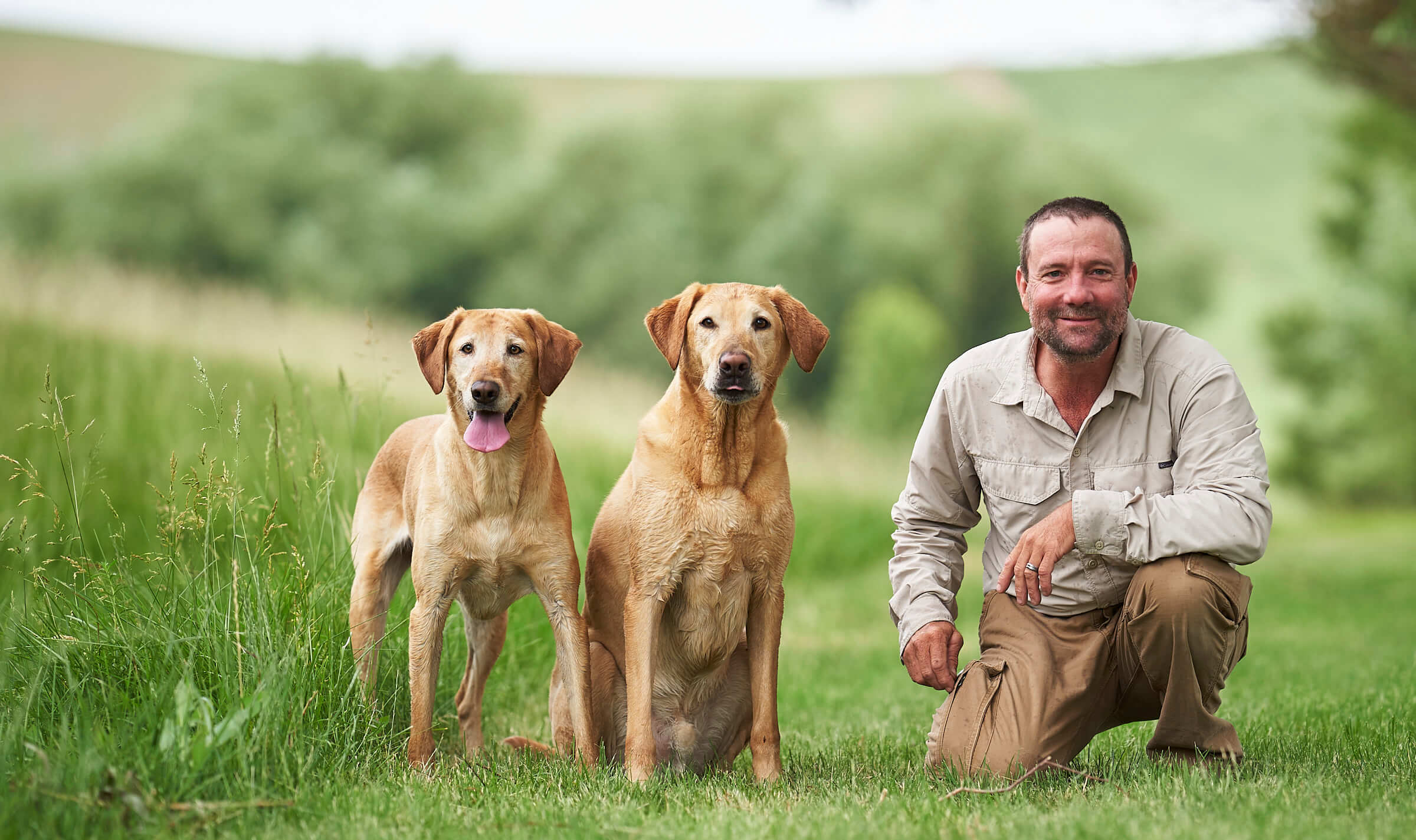 Yellow labs in a field outside of Spokane, Washington