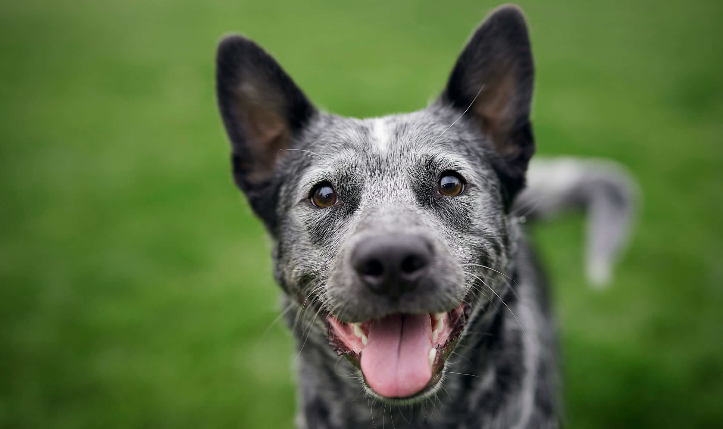 Blue Heeler Instagram Dog @SmokeyDingo