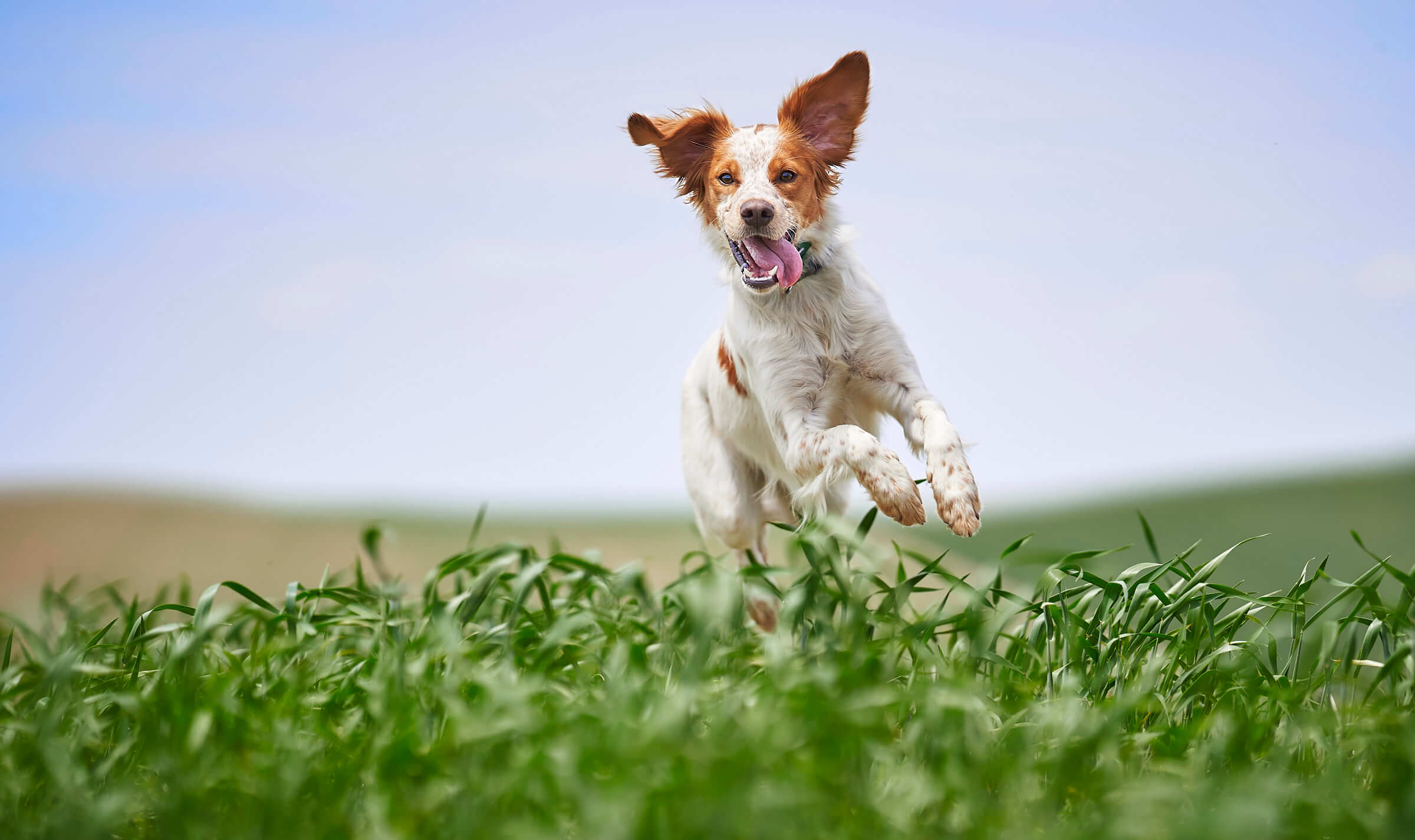 Tilly the French Brittany dog picture in a wheat field near Pullman, Washington